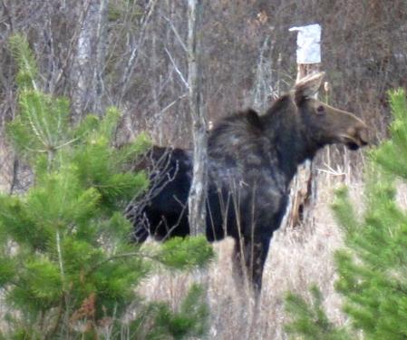 Moose IMG_1684